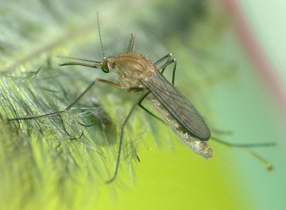 Mosquito - Culex pipiens - female
