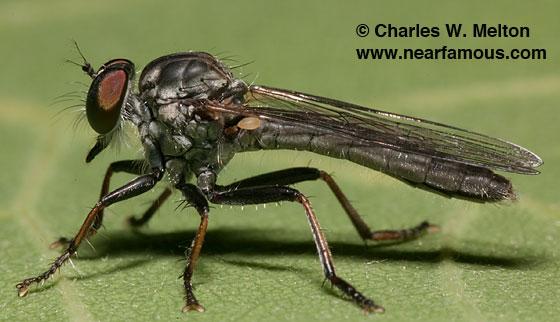 Robber Fly - Ommatius parvulus - female