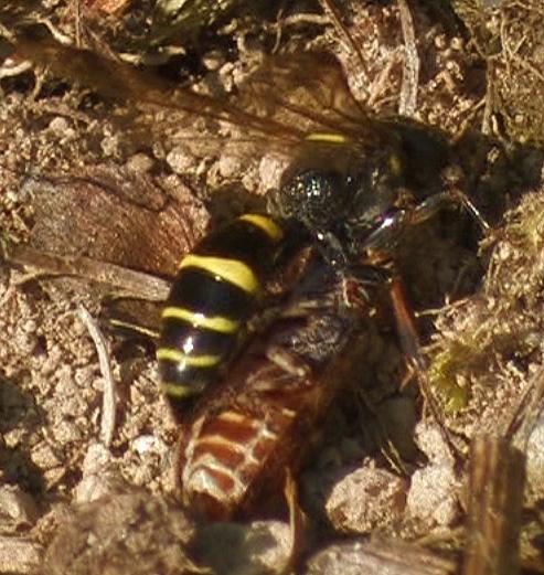 Gorytes sp. and prey - Gorytes - female