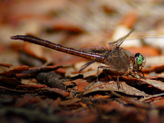 Dragonfly - Arigomphus pallidus