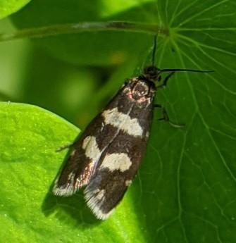 Lepidoptera - Greya variata