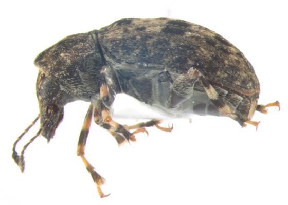 Anthribidae, lateral - Piesocorynus mixtus