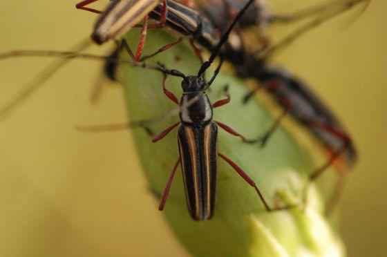 Unknown beetle? - Sphaenothecus bilineatus