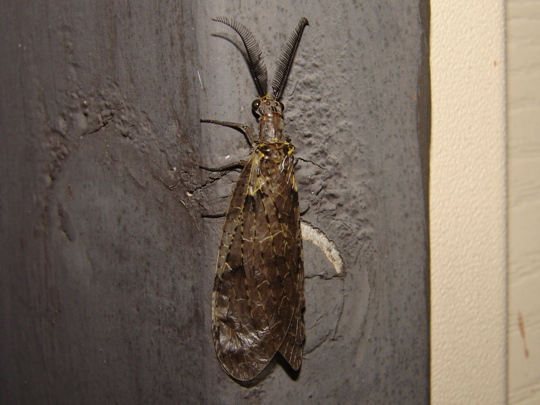 Unknown insect - Chauliodes rastricornis