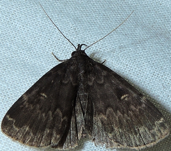 Glossy Black Idia - Idia lubricalis