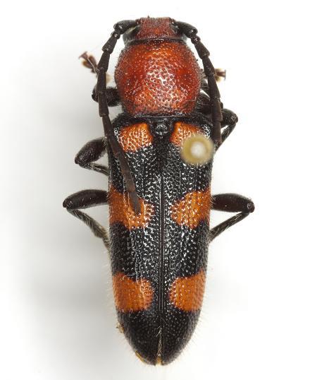 Zagymnus clerinus  (LeConte) - Zagymnus clerinus