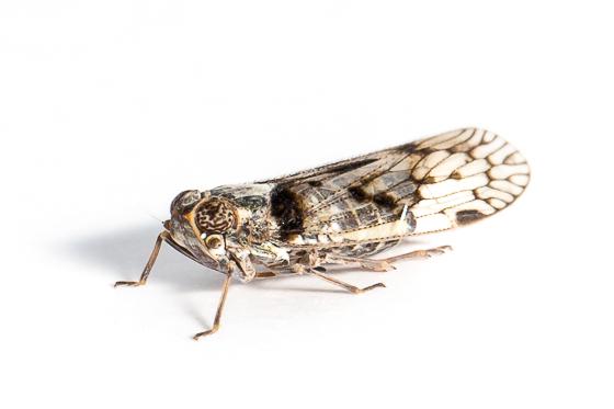 Unknown Leafhopper - Melanoliarus