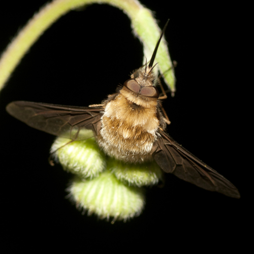 Greater Bee Fly - Bombylius major - male