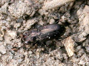 Beetle [Notiophilus?] ID Request - Notiophilus