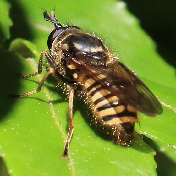 Syrphidae? - Sphecomyia occidentalis