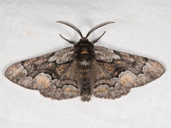 Phaeoura mexicanaria - male