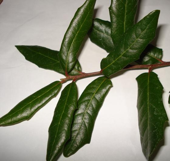 Gall on oak tree ? - Andricus quercuslanigera