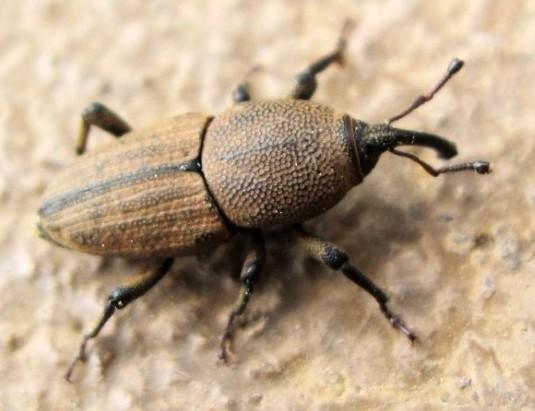 what species? - Sphenophorus coesifrons