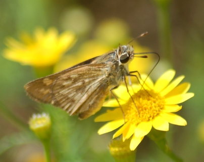 Skipper? - Hylephila phyleus