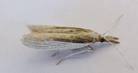 Arizona Moth - Peoria opacella