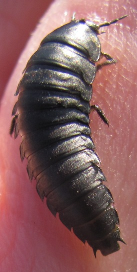 Carrion Beetle Larva Sk Heterosilpha Ramosa Bugguide Net