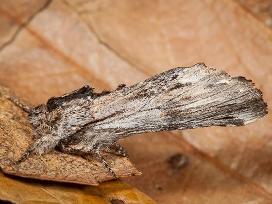 Moth - Oligocentria