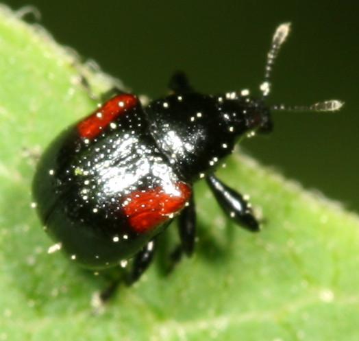 tiny beetle? - Synolabus bipustulatus