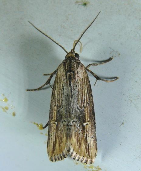 Verbena Moth - Crambodes talidiformis
