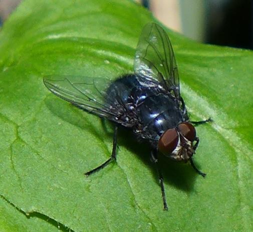 Diptera - male