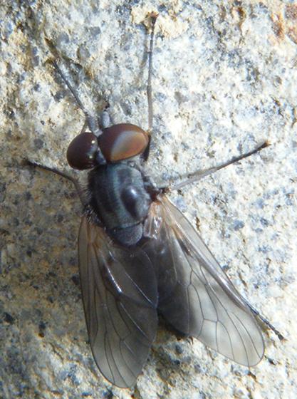 interesting fly - Symphoromyia - male