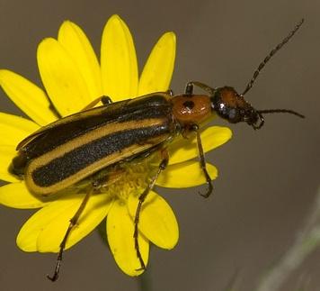 Blister Beetle? - Pyrota mutata
