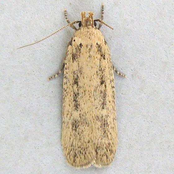Cotton Stem Moth - Platyedra subcinerea