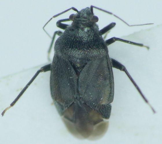Sixeontus tenebrosus - Sixeonotus tenebrosus