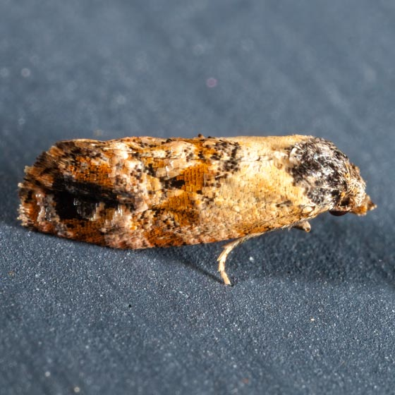 Kearfott's Rolandylis Moth  - Cochylichroa hoffmanana