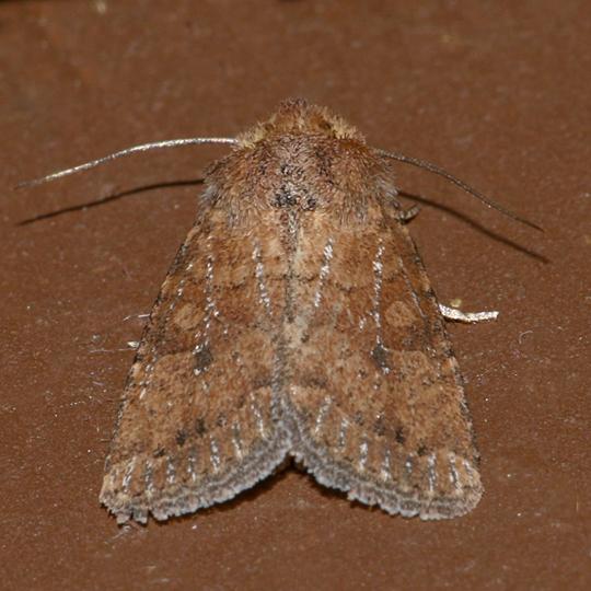 Homorthodes furfurata