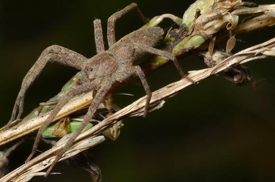 Unknown Wolf Spider - Burrowing? - Pisaurina mira