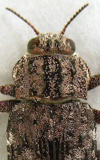 Metallic Wood-boring Beetle - Dicerca crassicollis
