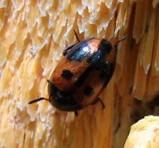 Darkling Beetle (?) - Diaperis maculata