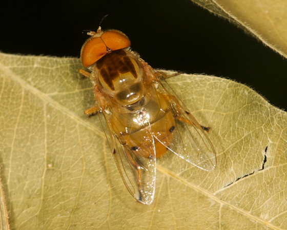 Yellow Fly - Copestylum sexmaculatum - male