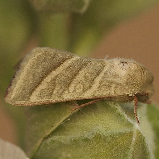 Heliothis virescens - Tobacco Budworm Moth in New Mexico - Chloridea virescens