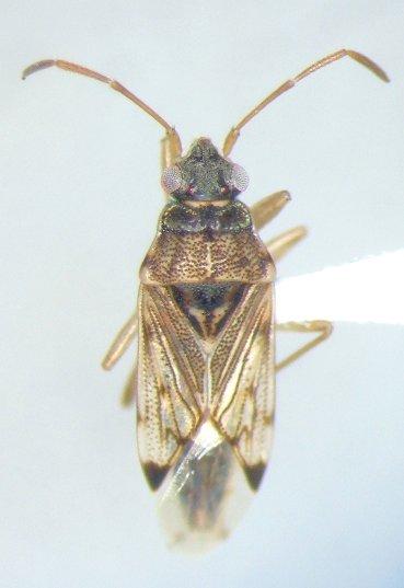 Ozophora laticephala