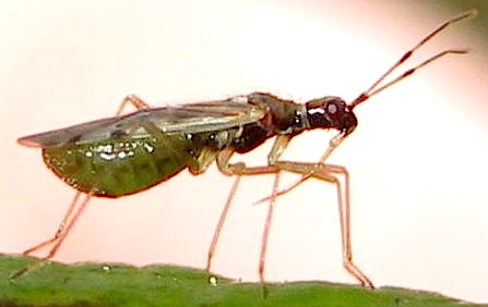 Flying insect - Dicyphus hesperus