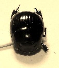 Ateuchus histeroides