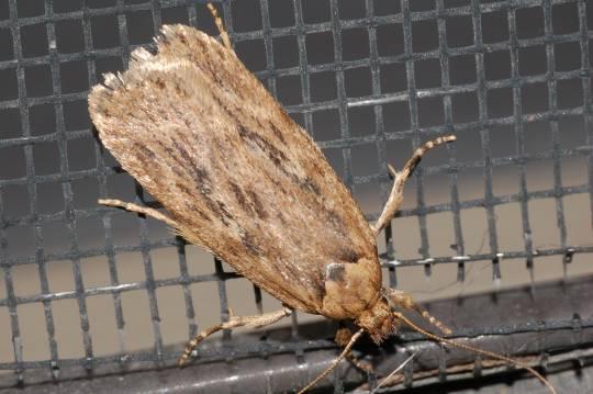 Winter moth - Depressaria