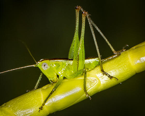 Tettigonidae ID request - female