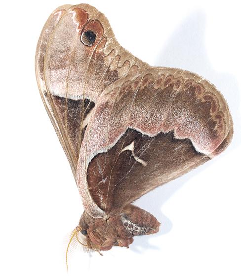 Moth to black light - Callosamia angulifera