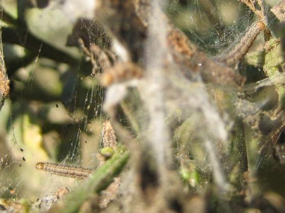 Unidentified larvae infesting coyote brush (Baccharis pilularis) - Argyrotaenia