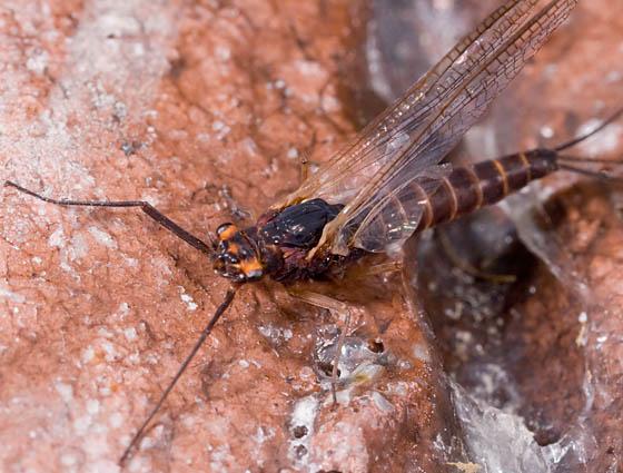 Tiny Dragon Fly? - Leptophlebia