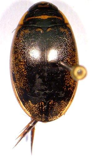 Thermonectus - Thermonectus basillaris