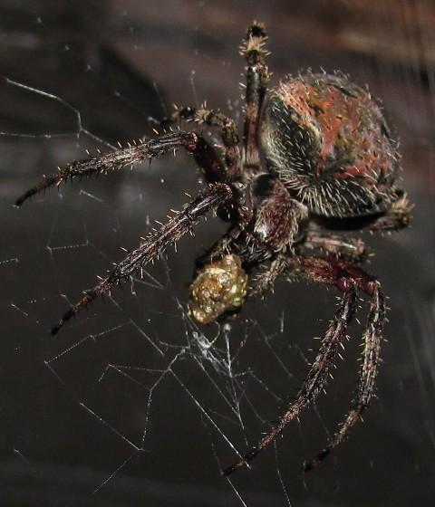 orb weaver - Neoscona crucifera - female