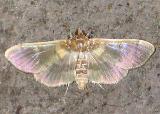 Apilocrocis Moth - Apilocrocis brumalis