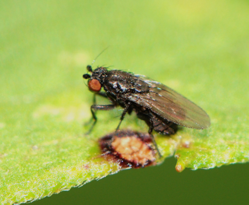 small black fly - Leptocera