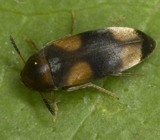 Beetle 1526 - Pentaria trifasciata