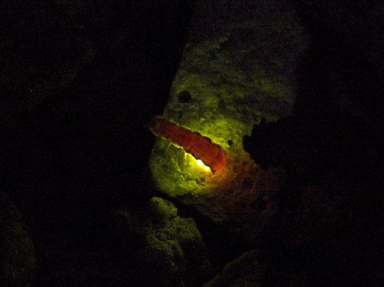 Pink Glowworm (Microphotous angustus) - Microphotus angustus - female