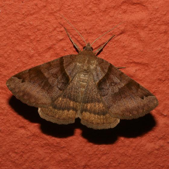 Unsure - Caenurgina crassiuscula